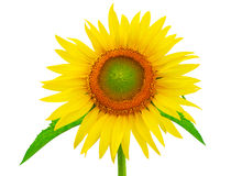 A sunflower isolated Royalty Free Stock Photo