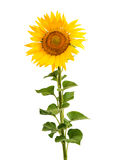 Sunflower Isolated Royalty Free Stock Photos