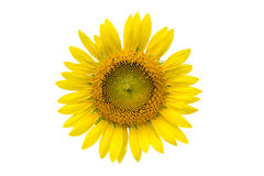 A sunflower isolated Royalty Free Stock Images