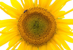 Sunflower isolated and bee Royalty Free Stock Images