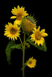 Sunflower isolated on a black background Stock Images