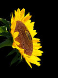 Sunflower. Royalty Free Stock Image