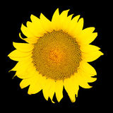 Sunflower. Isolated in the black background Royalty Free Stock Images
