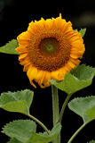 Sunflower isolated on black background. Blooming Sunflower isolated on black background Stock Images