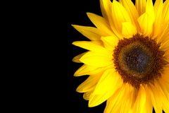 Sunflower isolated on black background Stock Photography