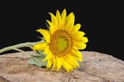 Sunflower isolated on black background . royalty free stock photo