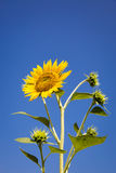 Sunflower isolated on the blue sky background Royalty Free Stock Photos