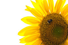 Sunflower isolated with bumble bee royalty free stock photography