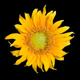 Sunflower isolated with clipping path. Sunflower isolated in black background with clipping path Royalty Free Stock Images