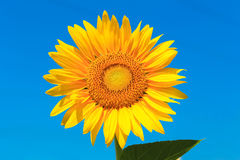Sunflower isolated with clipping path Stock Image