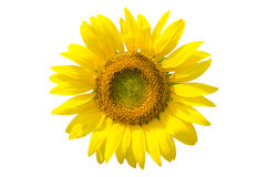 Sunflower isolated with clipping path Stock Photos