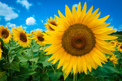 Sunflower isolated in field with blue sky Royalty Free Stock Photo