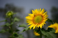 Sunflower isolated. This is an image of an isolated sun flower in full bloom in an agricultural field Stock Photo