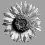 Sunflower isolated monochrome Stock Photography