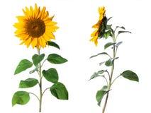 Free Sunflower Isolated On White Background Royalty Free Stock Photography - 161584507
