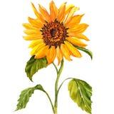 Sunflower Isolated On White Background Royalty Free Stock Photo