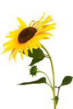 Sunflower isolated over white Royalty Free Stock Photos