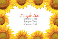 Sunflower isolated with sample text. Stock Photo