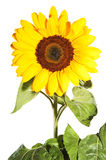 Sunflower isolated. Sunflowers  one on the white background Stock Photos