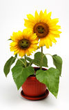 Sunflower,isolated on white. Two smiling sunflowers in a vase ,isolated on white Stock Photo