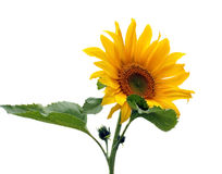 Sunflower isolated on white Stock Photos