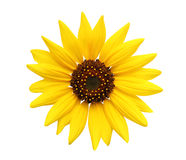 Sunflower isolated on white Stock Photography