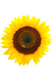 Sunflower isolated on white Stock Image