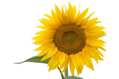Sunflower isolated on white Royalty Free Stock Photos