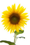 Sunflower isolated on white Royalty Free Stock Photo