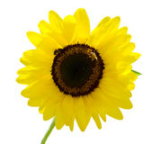 Sunflower isolated on the white Royalty Free Stock Image