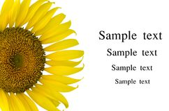 Sunflower. Isolated on white background Royalty Free Stock Photos