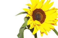 Sunflower isolated. Sunflower   on  the white background Royalty Free Stock Photography