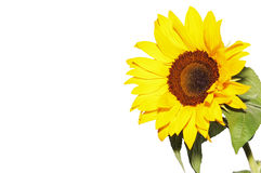 Sunflower isolated. Sunflower   on the white background Royalty Free Stock Images