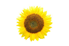 Sunflower isolated on white Stock Image