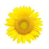 Sunflower isolated on white Royalty Free Stock Images