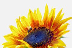 Sunflower isolated Stock Photo