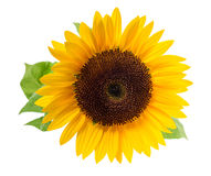 Sunflower, Stock Photos