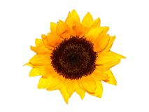 A Sunflower Isolated Stock Photo