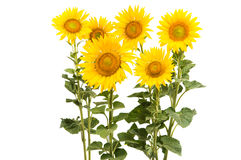Sunflower isolated Royalty Free Stock Images