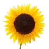 Sunflower isolated Stock Image