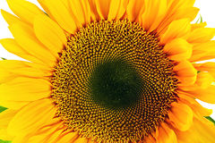 Sunflower. Isolated on White Background Royalty Free Stock Photo
