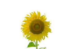 Sunflower isolated on the white background. Sunflower isolated on the white background stock image