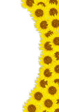Sunflower isolated on white background Royalty Free Stock Photography