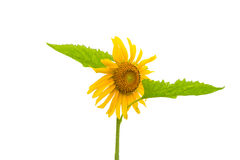 Sunflower isolated on a white Royalty Free Stock Images