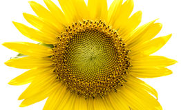 Sunflower isolated on white background. Stock Images