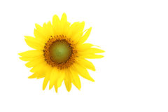 Sunflower on isolated white Stock Photo