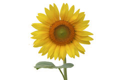 Sunflower isolated white background. Sunflower isolated on white background Stock Images