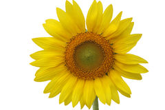 Sunflower isolated white background. Sunflower isolated on white background Stock Image