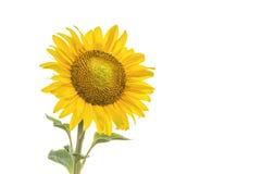 Sunflower isolated on white background. Royalty Free Stock Photography