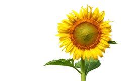 Sunflower isolated on white background Royalty Free Stock Photos